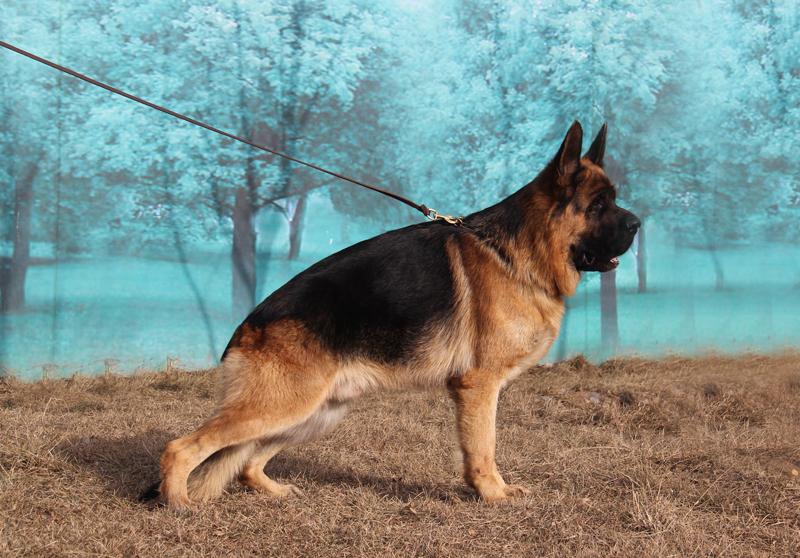 新发现犬舍-牧羊犬在线-德国牧羊犬信息交流平台