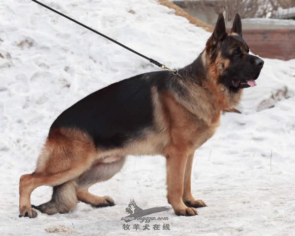 德国牧羊犬信息交流